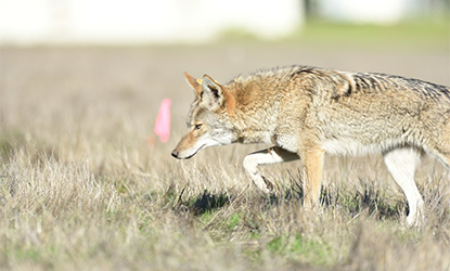Coyote in the Presidio