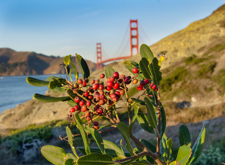 Christmas berries in the Presidio