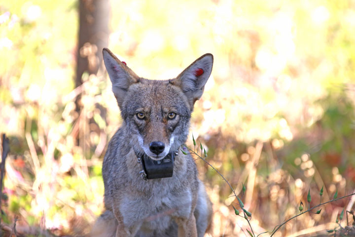 double red ear tags and collared alpha female coyote in the Presidio