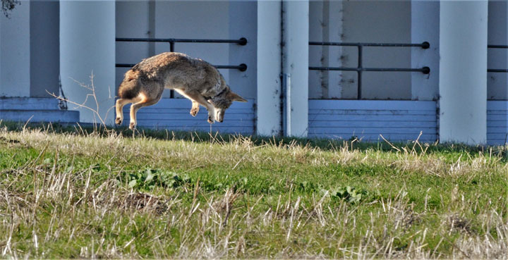 Coyote 10F hunting gophers