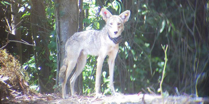 tagged and collared coyote in the Presidio